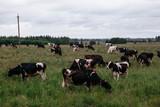cows graze on pasture, bulls