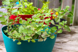 Growing fresh oregano in a pot of herbal garden - 219197277