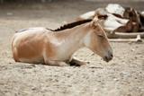 Przewalski's horse  - 219207477