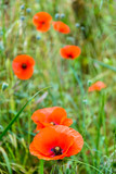 Wild poppies in full bloom along with buds on a grassy mound with shallow depth of field.