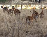 Impala, Kruger - 219230879