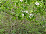 Cydonia oblonga. Cognassier en fleurs - 219231817