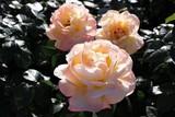 柔らかなアプリコット色の薔薇(ピース) - 219265423