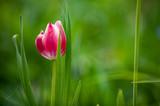 Rot-weisse Tulpe vor unscharfem Hintergrund