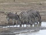 Zebras in Reih und Glied