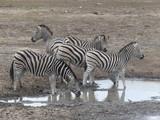 Herde Zebras