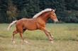 Little red foal on the summer field