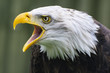 Bald Eagle - Expressing an opinon
