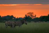 Zebra with blue storm sky. Burchell's zebra, Equus quagga burchellii, Nxai Pan National Park, Botswana, Africa. Wild animal on the green meadow. Wildlife nature on African safari. Bird on the back.
