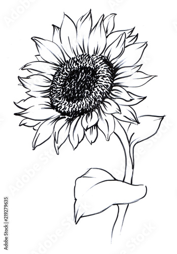 Watercolor Painted Sunflower On Paper Single Flower Contour