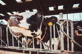 Cows on Farm. agriculture industry - 219283082