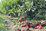Seasonal fruit orchard with ripe organic red and yellow apples on branches and rotten on the ground, in an English rural countryside . - 219301488