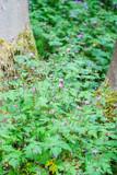 Storksbill plants (Geranium robertianum) growing on forest floor - 219324885