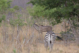 zebra walking in africa around