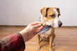Trained intelligent dog refuses food from human. Owner gives treat to a staffordshire terrier puppy indoors