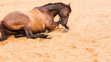 Brown wild horse lying on sand - 219341067