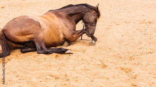 Brown dzikiego konia lying on the beach na piasku