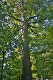 The trunk of a large beech tree in the forest - 219342010