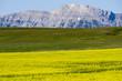 Yellow Canola Field In Bloom Alberta