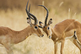 Two adult male impala fighting in Africa - 219361811