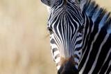 Wild African Zebra with long eyelashes
