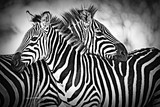 Two wild zebra resting  together in Africa