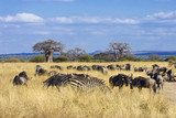 Herd of zebra and wildebeest grazing in African savanna
