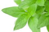 Sweet Basil Herb Growing in a organic garden. Thai Basil leaf (Ocimum basilicum) isolated on white background - 219373023