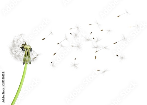 Dandelion blowball - 219380838