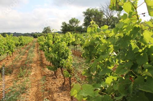 vignes © canecorso