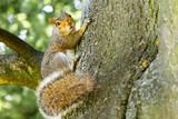 Squirrel in London - 219400291