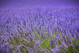 lavender field in provence france colorful purple closeup macro shot french agriculture background
