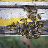 bees crawl together on yellow and white painted wood at entrance to beehive - 219404686