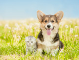 Portrait of a Pembroke Welsh Corgi puppy and tabby kitten on a summer grass