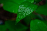 green leaves with drops of dew - 219416473
