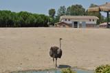 Ostrich - 219428403