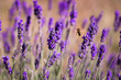 Lavendel mit Biene 2 - 219438464