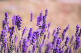 Lavendel mit Biene 3
