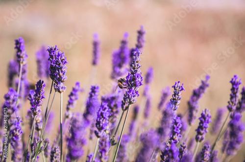 Lavendel mit Biene 3 - 219438475