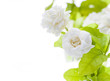 Beautiful jasmine flower on white background..