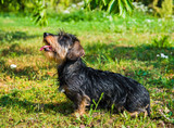 Funny dachshund dog on a walk in the park outside