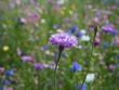 Kwiat polny na kolorowej łące