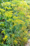 wet dill plants in garden after rain in summer - 219477062