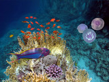 Klunzinger wrasse. Red Sea - 219504668