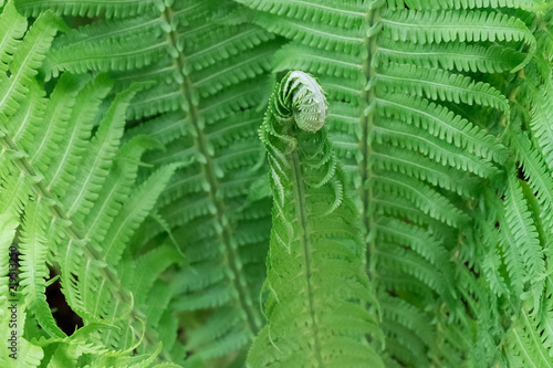 Young green shoots of ferns, Polypodiophyta. Forest glade. Green curls. Close up.