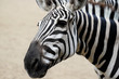 Portrait of African striped coat zebra