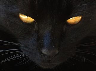 cat animal pet feline cute yellow eyes black kitty close up © thismate