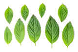 Mint different size leaves - 219667659