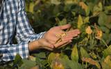 Farmer holding soybean in hand - 219677045