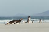 Gentoo penguin lying on a sandy beach